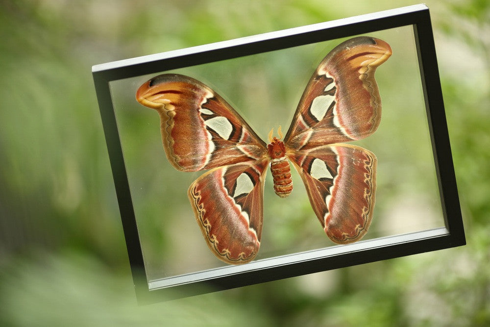 THE GIANT ATLAS MOTH TAXIDERMY DISPLAY FRAME (ATTACUS ATLAS)