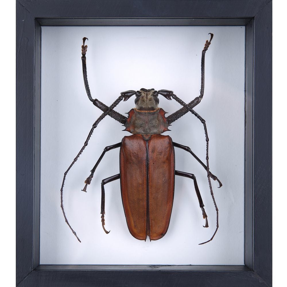 GIANT LONG HORN BEETLE TAXIDERMY, MOUNTED IN A DOUBLE GLASS FRAME