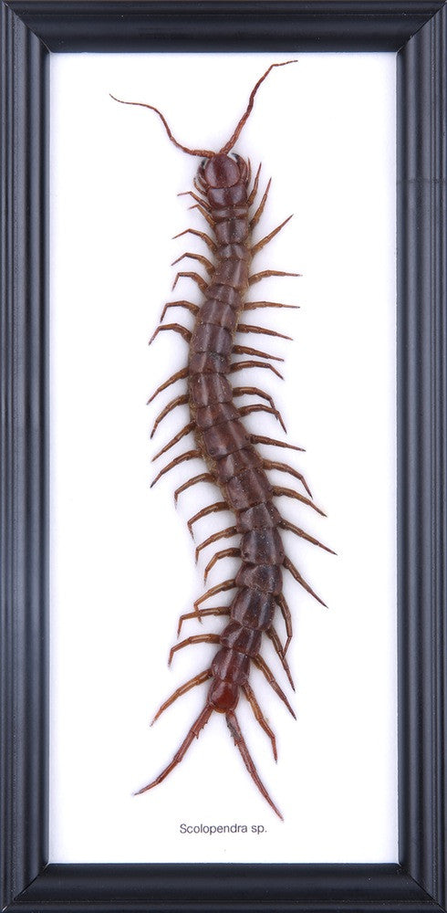 THE GIANT CENTIPEDE (SCOLOPENDRA SP) COTTON MOUNTED FRAME
