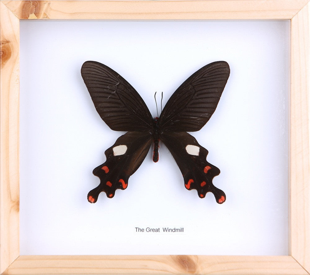 THE GREAT WINDMILL BUTTERFLY | REAL FRAMED SPECIMEN NO.12-13 - Bugs ...