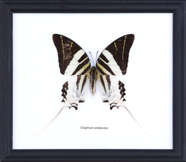 THE GIANT SWORDTAIL BUTTERFLY (GRAPHIUM ANDROCLES) COTTON MOUNTED