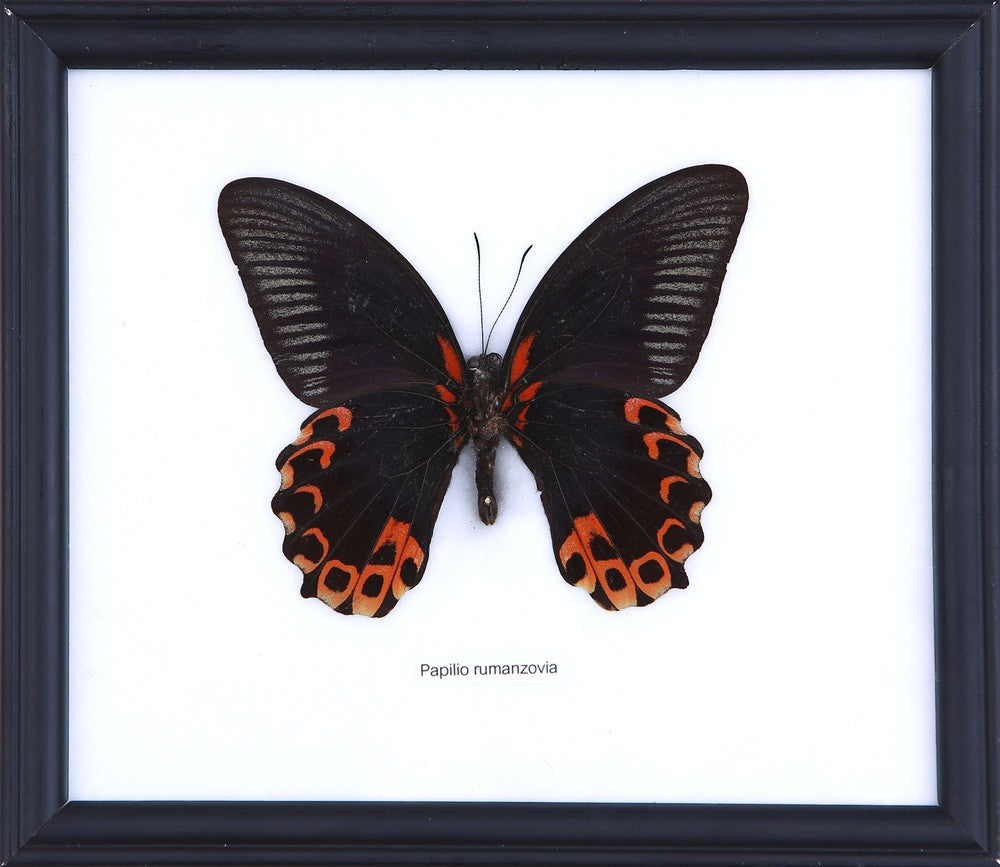 THE SCARLET MORMON BUTTERFLY | FRAMED BUTTERFLY ART, HOME DECOR
