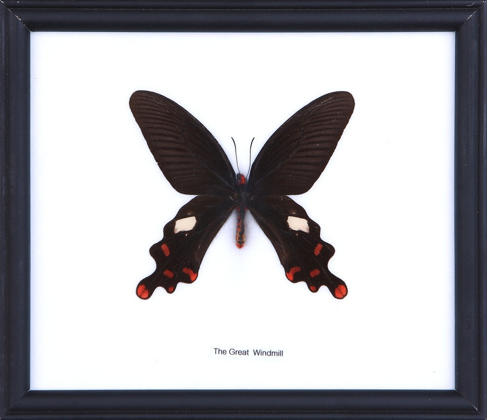 THE GREAT WINDMILL BUTTERFLY (ATROPHANEURA DASARADA) COTTON MOUNTED