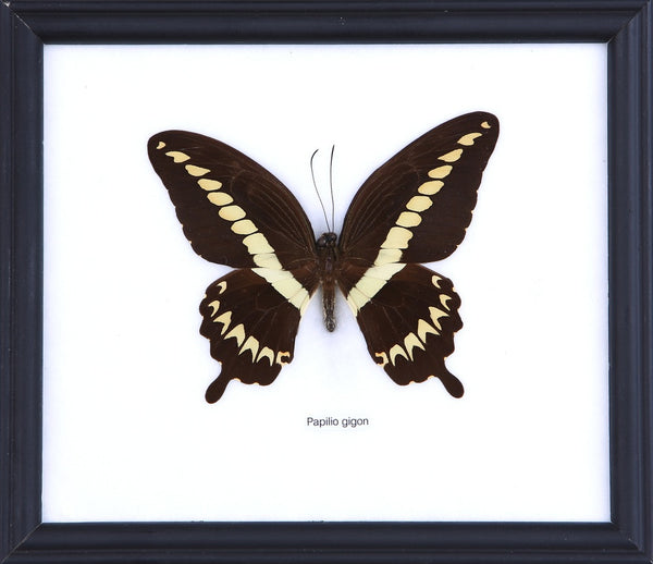 THE SULAWESI SWALLOWTAIL BUTTERFLY (PAPILIO GIGON) COTTON MOUNTED BUTTERFLY FRAME