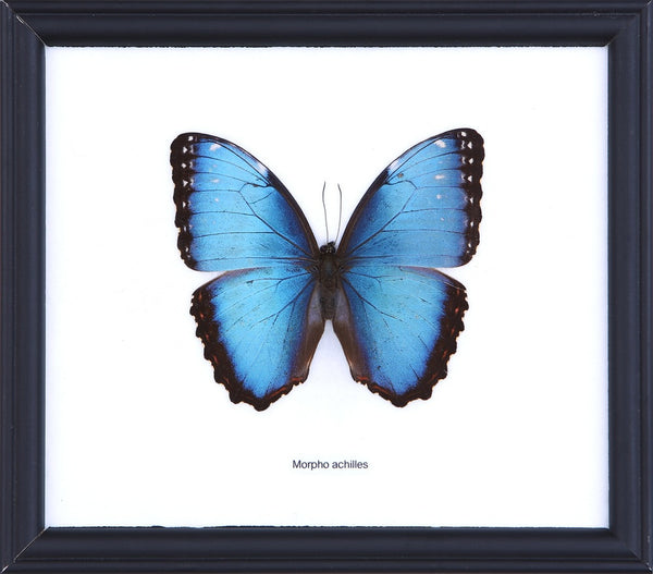 THE BLUE-BANDED MORPHO BUTTERFLY, MORPHO ACHILLES (COTTON MOUNTED) FRAME