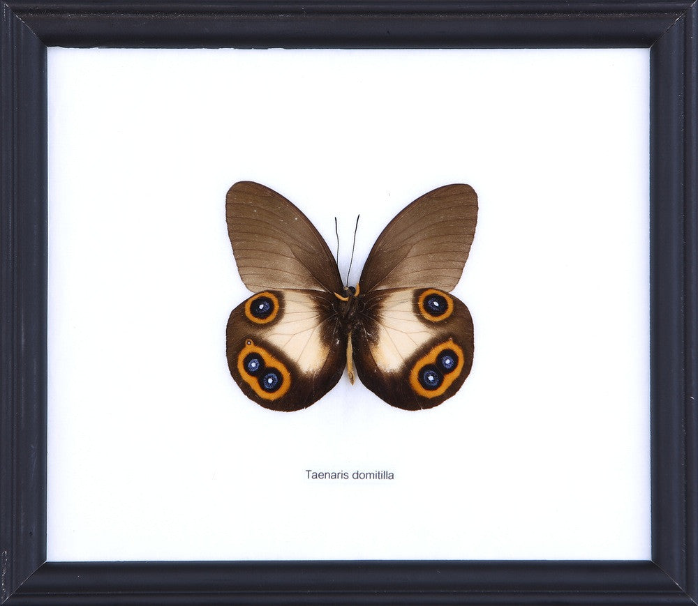 THE SILKY OWL BUTTERFLY (TENARIS DOMITILLA) COTTON MOUNTED BUTTERFLY FRAME