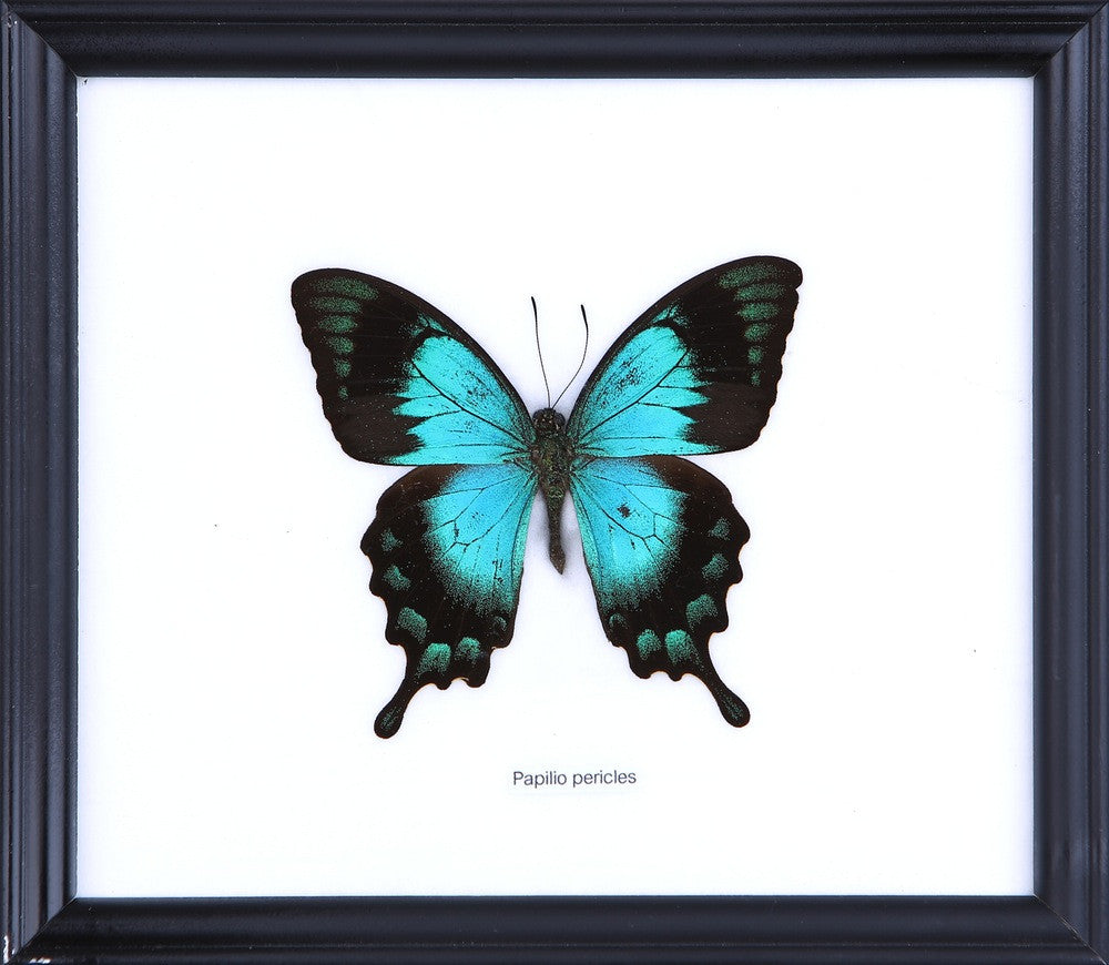 THE TURQUOISE SWALLOWTAIL (PAPILIO PERICLES) COTTON MOUNTED BUTTERFLY FRAME