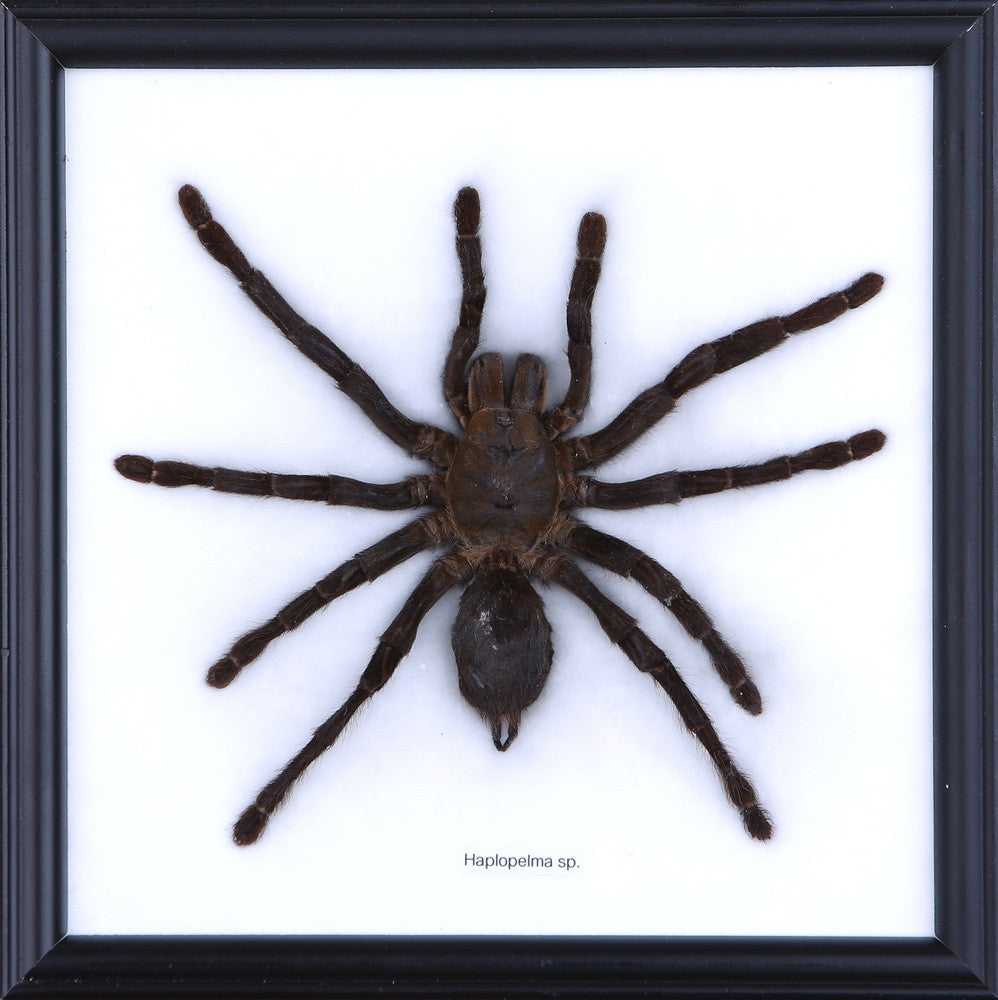 MALAYSIAN BIRD-EATING TARANTULA FRAME | FRAMED SPECIMEN