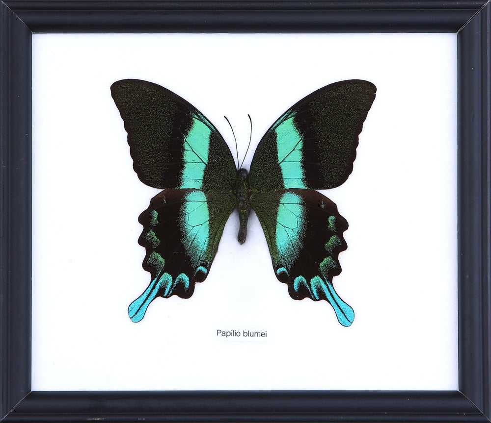 THE GREEN SWALLOWTAIL BUTTERFLY (PAILIO BLUMEI) COTTON MOUNTED