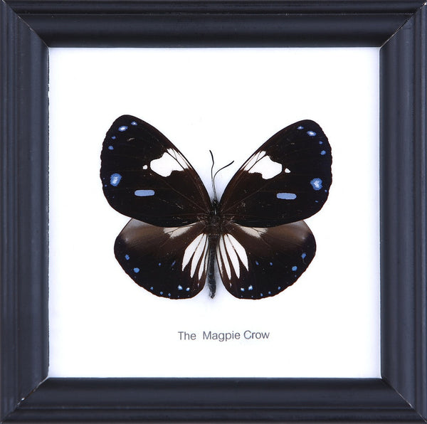 THE MAGPIE CROW - COTTON MOUNTED BUTTERFLY TAXIDERMY 12X12CM FRAME