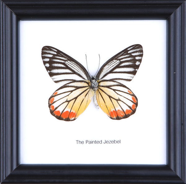 THE PAINTED JEZEBEL - COTTON MOUNTED BUTTERFLY TAXIDERMY 12X12CM FRAME