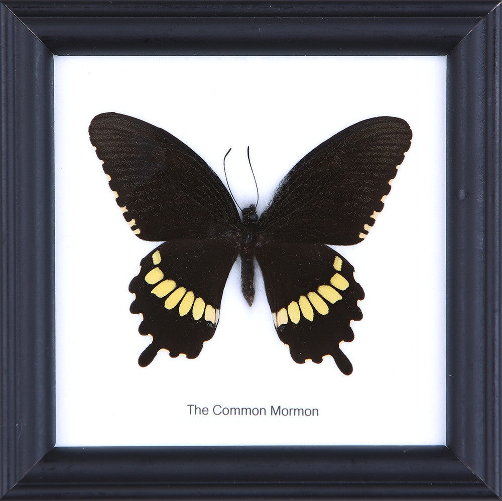 THE COMMON MORMON - COTTON MOUNTED BUTTERFLY TAXIDERMY 12X12CM FRAME