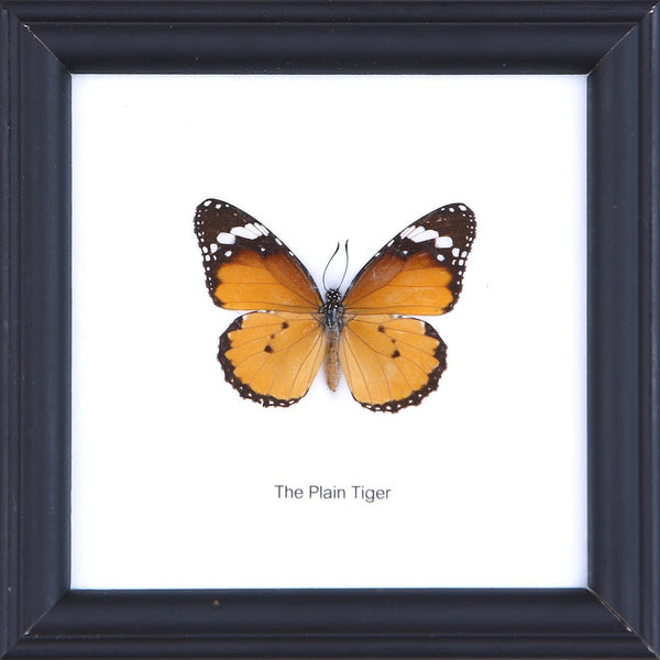THE PLAIN TIGER - COTTON MOUNTED BUTTERFLY TAXIDERMY 12X12CM FRAME