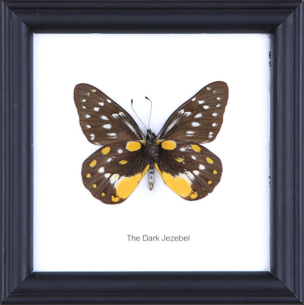 THE DARK JEZEBEL - COTTON MOUNTED BUTTERFLY TAXIDERMY 12X12CM FRAME