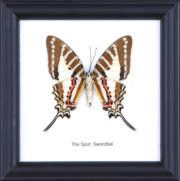 THE SPOT SWORDTAIL - COTTON MOUNTED BUTTERFLY TAXIDERMY 12X12CM FRAME