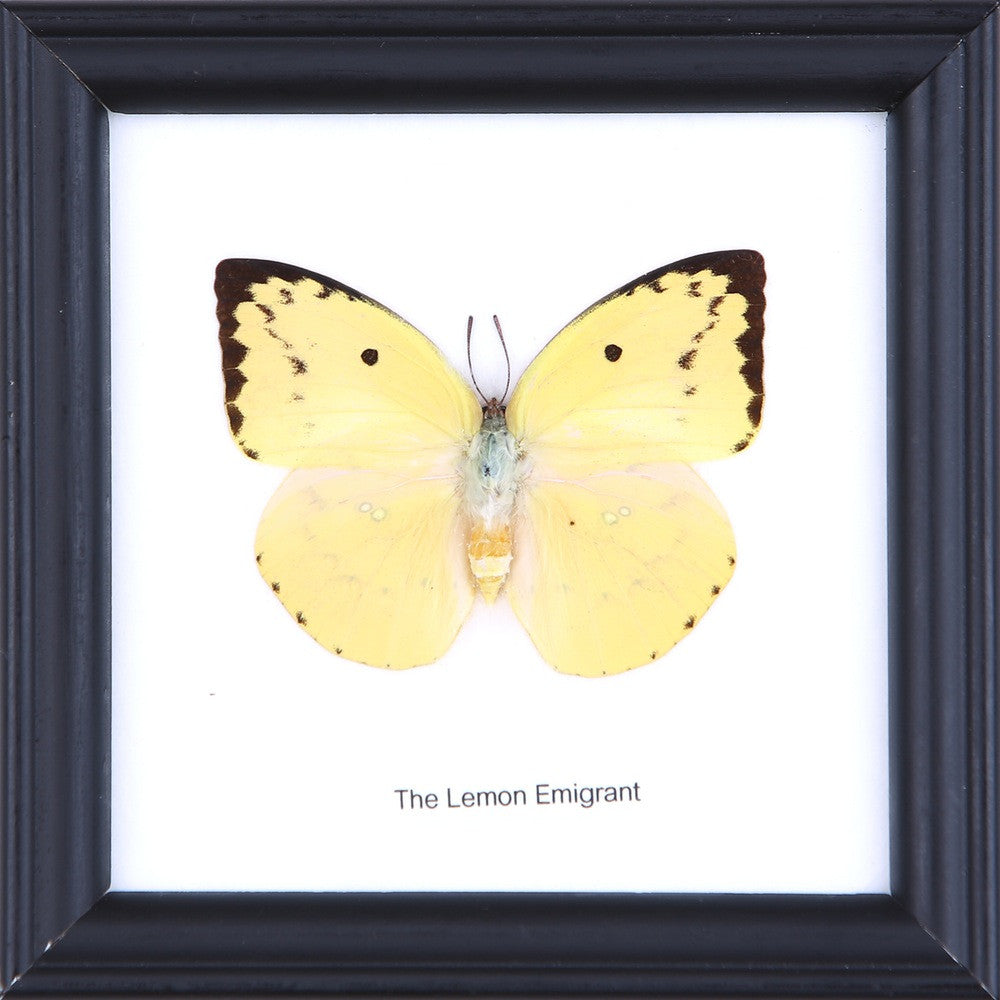THE LEMON EMIGRANT - COTTON MOUNTED BUTTERFLY TAXIDERMY 12X12CM FRAME