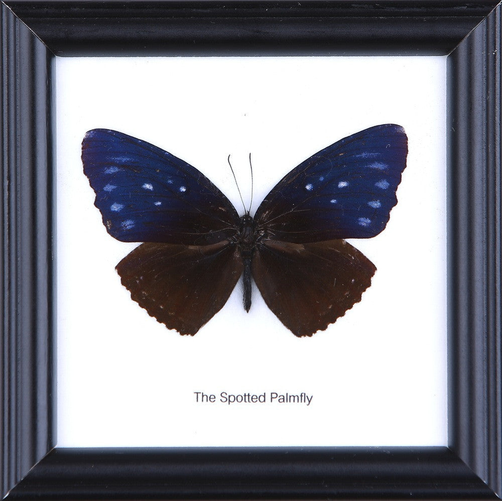 THE SPOTTED PALMFLY - COTTON MOUNTED BUTTERFLY TAXIDERMY 12X12CM FRAME