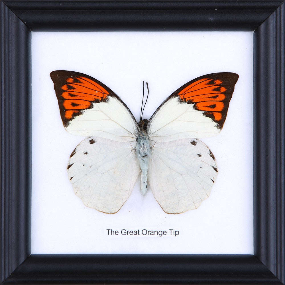 Assorted Real Butterflies Framed Set Under Glass - Pack of 3 Butterflies