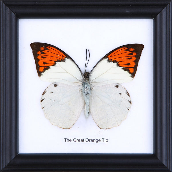 THE GREAT ORANGE TIP - COTTON MOUNTED BUTTERFLY TAXIDERMY 12X12CM FRAME