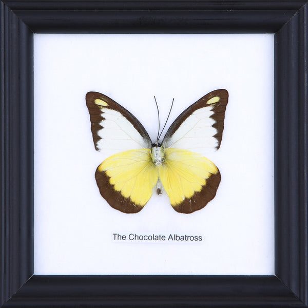 THE CHOCOLATE ALBATROSS - COTTON MOUNTED BUTTERFLY TAXIDERMY 12X12CM FRAME