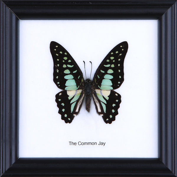 THE COMMON JAY - COTTON MOUNTED BUTTERFLY TAXIDERMY 12X12CM FRAME