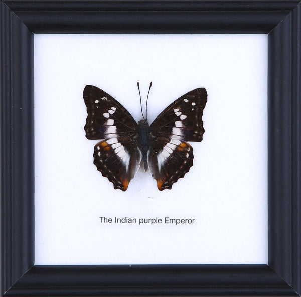 THE INDIAN PURPLE EMPEROR - COTTON MOUNTED BUTTERFLY TAXIDERMY 12X12CM FRAME