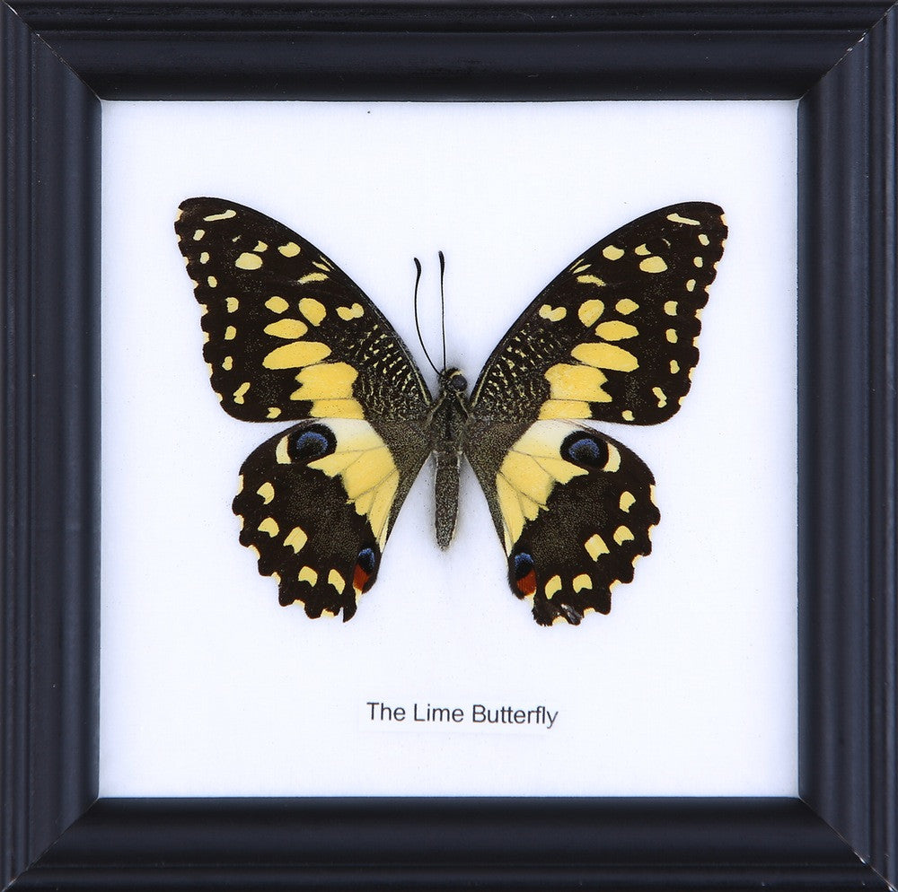 THE LIME BUTTERFLY - COTTON MOUNTED BUTTERFLY TAXIDERMY 12X12CM FRAME