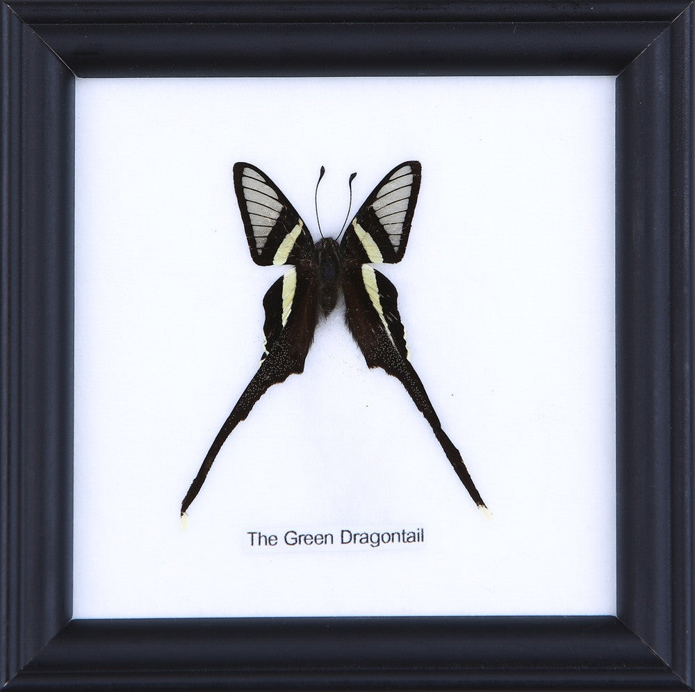 THE GREEN DRAGONTAIL - COTTON MOUNTED BUTTERFLY TAXIDERMY 12X12CM FRAME