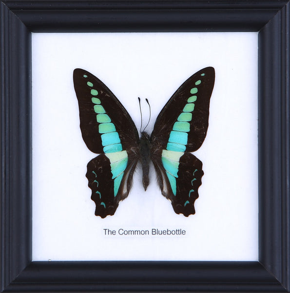 THE COMMON BLUEBOTTLE - COTTON MOUNTED BUTTERFLY TAXIDERMY 12X12CM FRAME