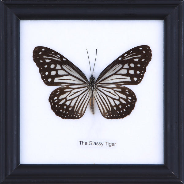 THE GLASSY TIGER - COTTON MOUNTED BUTTERFLY TAXIDERMY 12X12CM FRAME