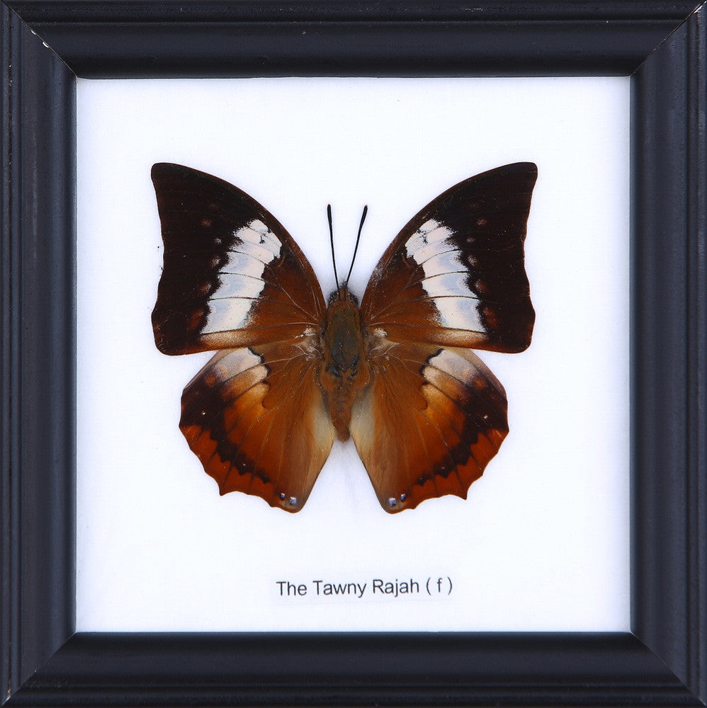 THE TAWNY RAHAJ (F) - COTTON MOUNTED BUTTERFLY TAXIDERMY 12X12CM FRAME