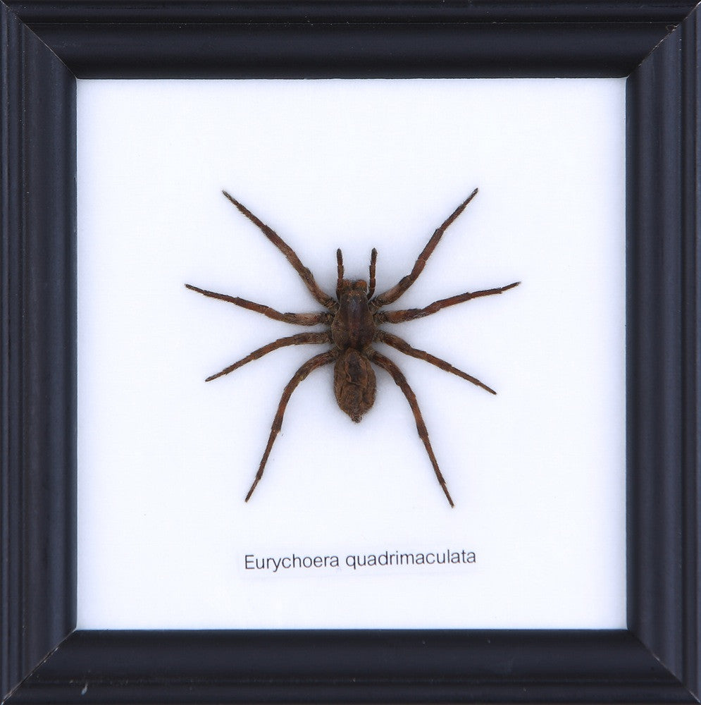 THE HUNTING SPIDER- COTTON MOUNTED INSECT TAXIDERMY 12X12CM FRAME