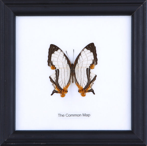 THE COMMON MAP - COTTON MOUNTED BUTTERFLY TAXIDERMY 12X12CM FRAME