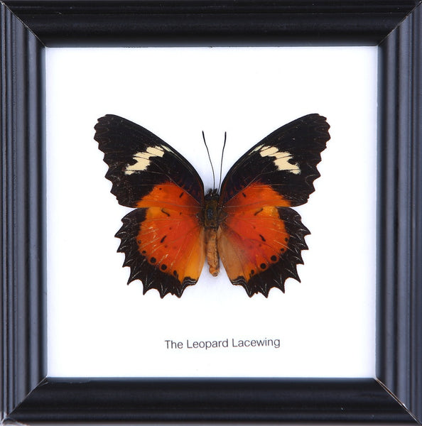 THE LEOPARD LACEWING - COTTON MOUNTED BUTTERFLY TAXIDERMY 12X12CM FRAME