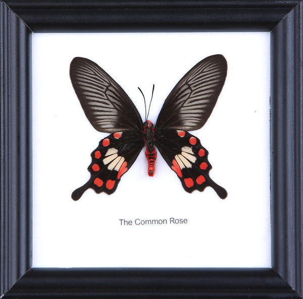 THE COMMON ROSE - COTTON MOUNTED BUTTERFLY TAXIDERMY 12X12CM FRAME