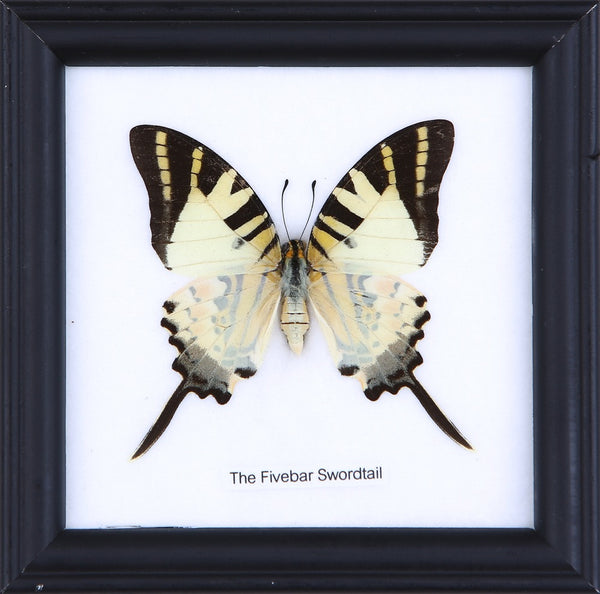 THE FIVEBAR SWORDTAIL - COTTON MOUNTED BUTTERFLY TAXIDERMY 12X12CM FRAME