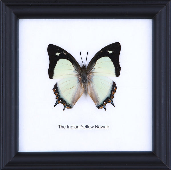 THE INDIAN YELLOW NAWAB - COTTON MOUNTED BUTTERFLY TAXIDERMY 12X12CM FRAME