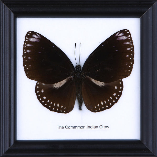 THE COMMON INDIAN CROW - COTTON MOUNTED BUTTERFLY TAXIDERMY 12X12CM FRAME