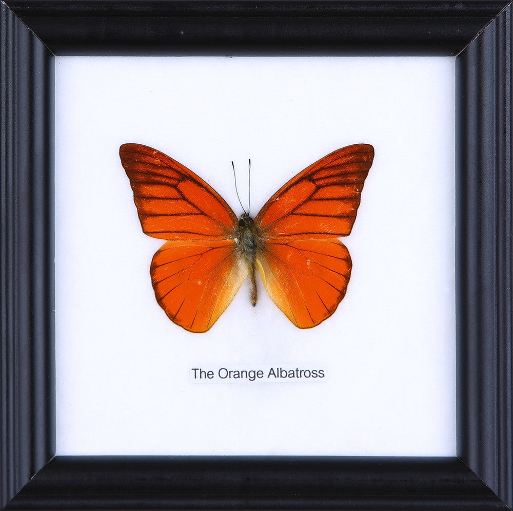 THE ORANGE ALBATROSS - COTTON MOUNTED BUTTERFLY TAXIDERMY 12X12CM FRAME