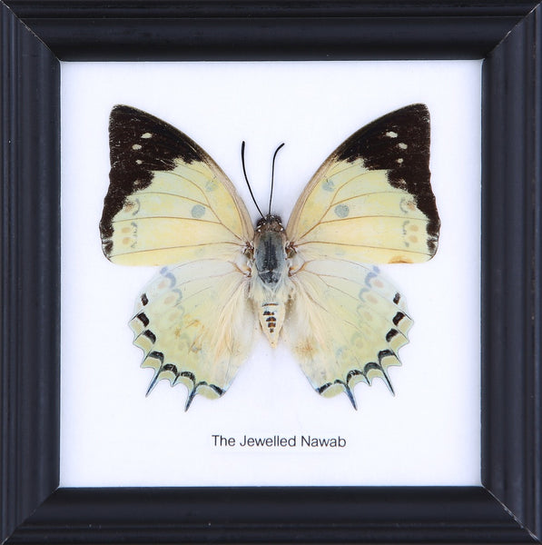 THE JEWELLED NAWAB - COTTON MOUNTED BUTTERFLY TAXIDERMY 12X12CM FRAME