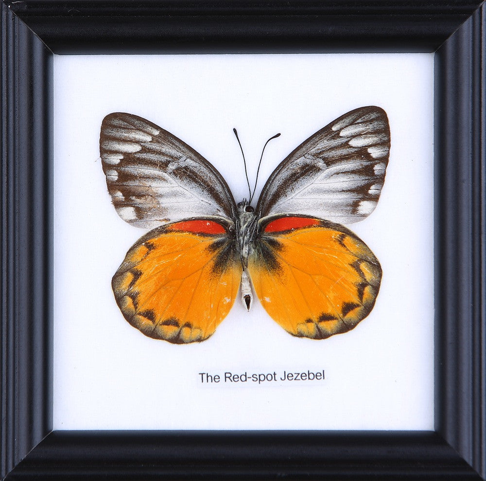 THE RED SPOT JEZEBEL - COTTON MOUNTED BUTTERFLY TAXIDERMY 12X12CM FRAME