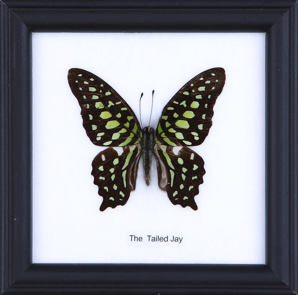 THE TAILED JAY - COTTON MOUNTED BUTTERFLY TAXIDERMY 12X12CM FRAME