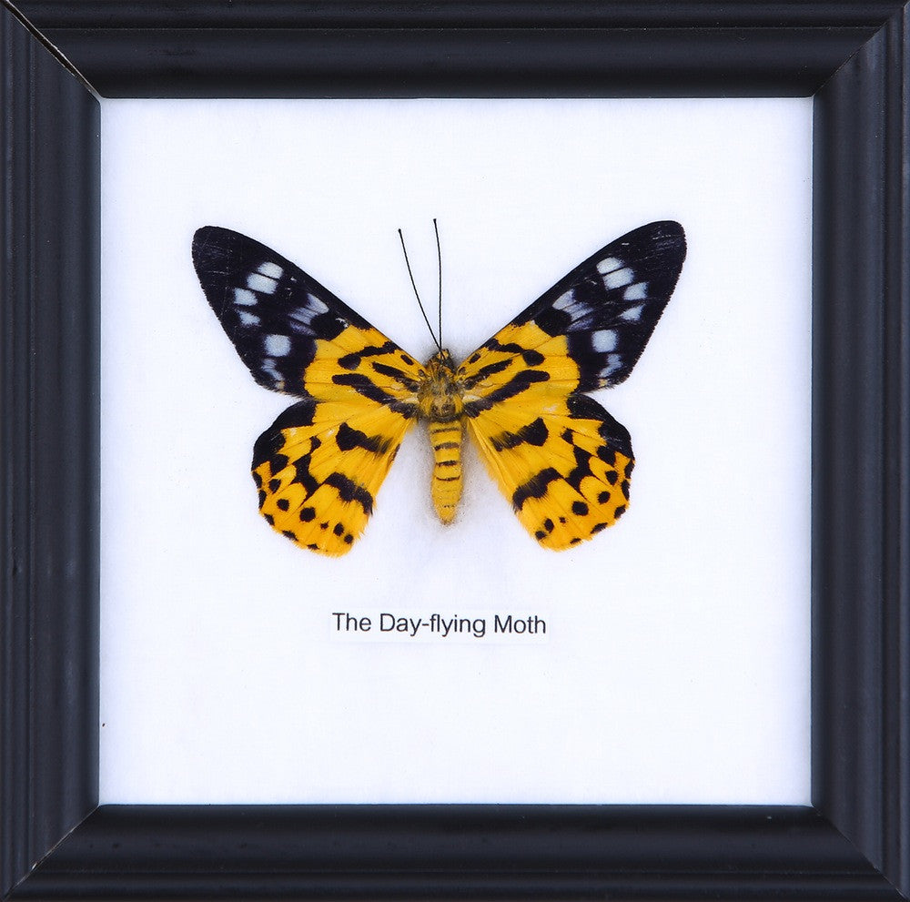 THE DAY FLYING MOTH - COTTON MOUNTED BUTTERFLY TAXIDERMY 12X12CM FRAME