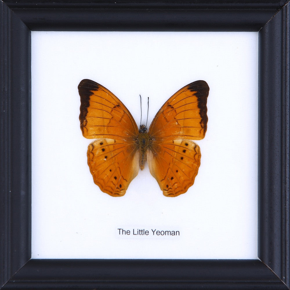 THE LITTLE YEOMAN - COTTON MOUNTED BUTTERFLY TAXIDERMY 12X12CM FRAME
