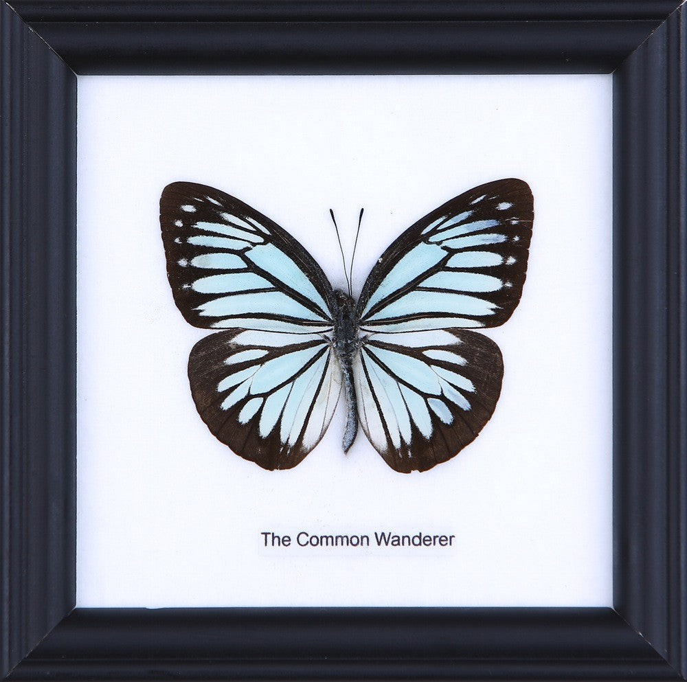 THE COMMON WANDERER - COTTON MOUNTED BUTTERFLY TAXIDERMY 12X12CM FRAME