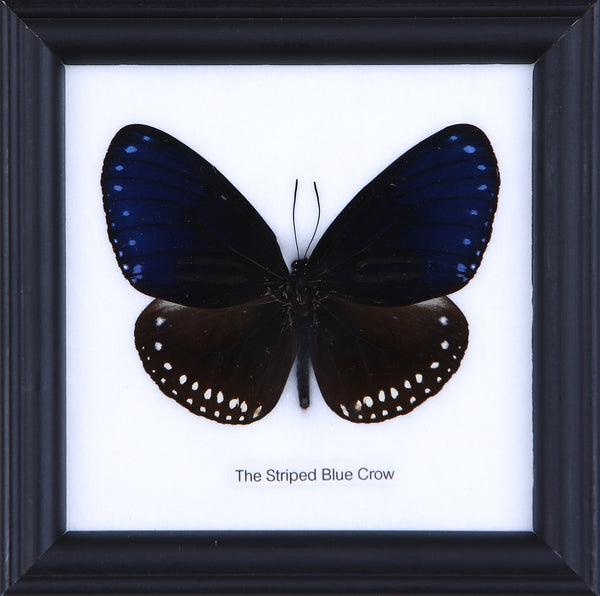 THE STRIPED BLUE CROW - COTTON MOUNTED BUTTERFLY TAXIDERMY 12X12CM FRAME