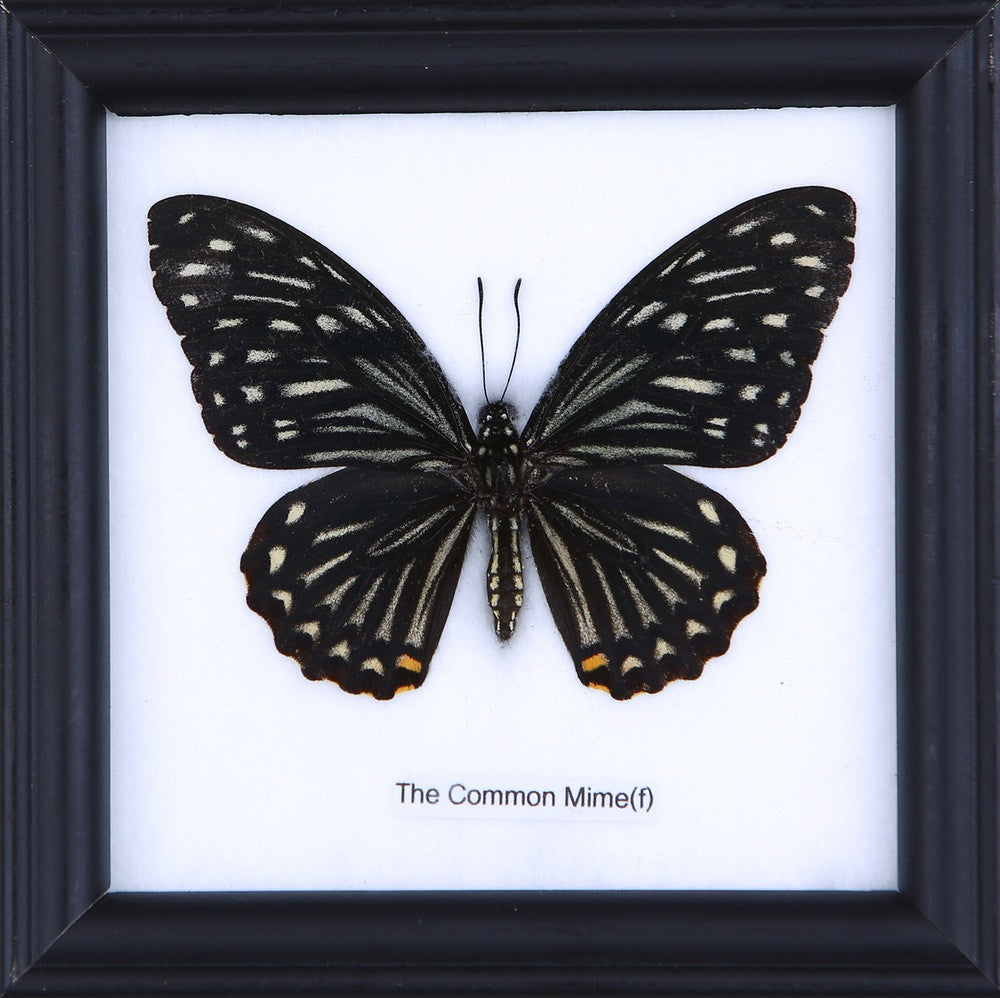 THE COMMON MINE (F) - COTTON MOUNTED BUTTERFLY TAXIDERMY 12X12CM FRAME
