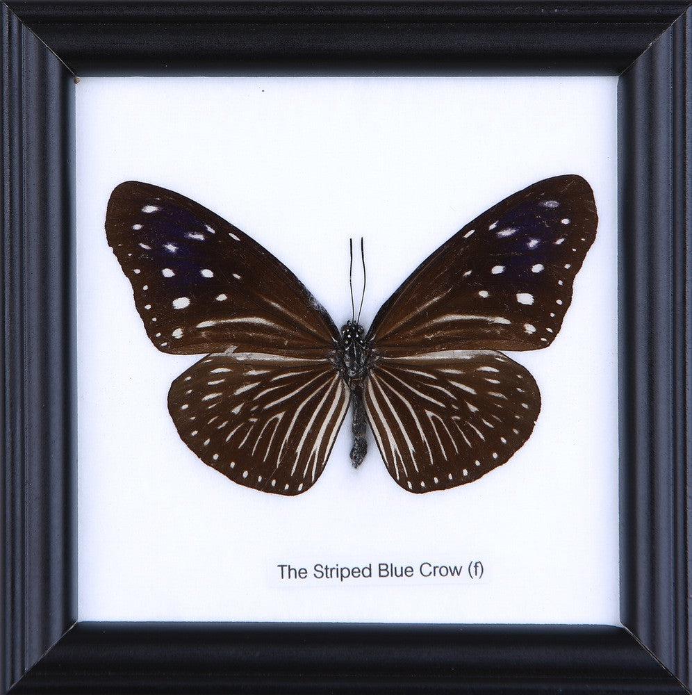 THE STRIPED BLUE CROW (F) - COTTON MOUNTED BUTTERFLY TAXIDERMY 12X12CM FRAME