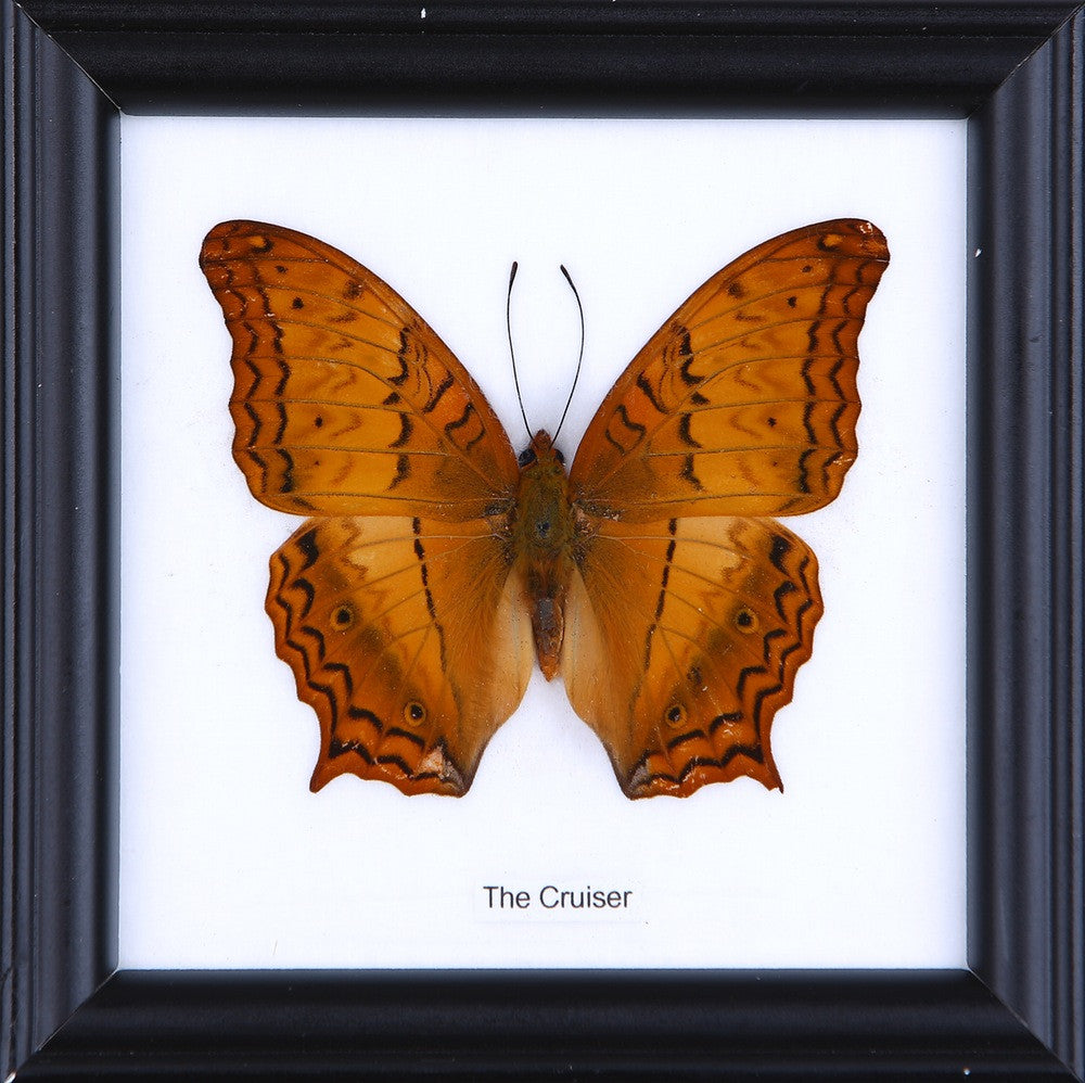 THE CRUISER - COTTON MOUNTED BUTTERFLY TAXIDERMY 12X12CM FRAME