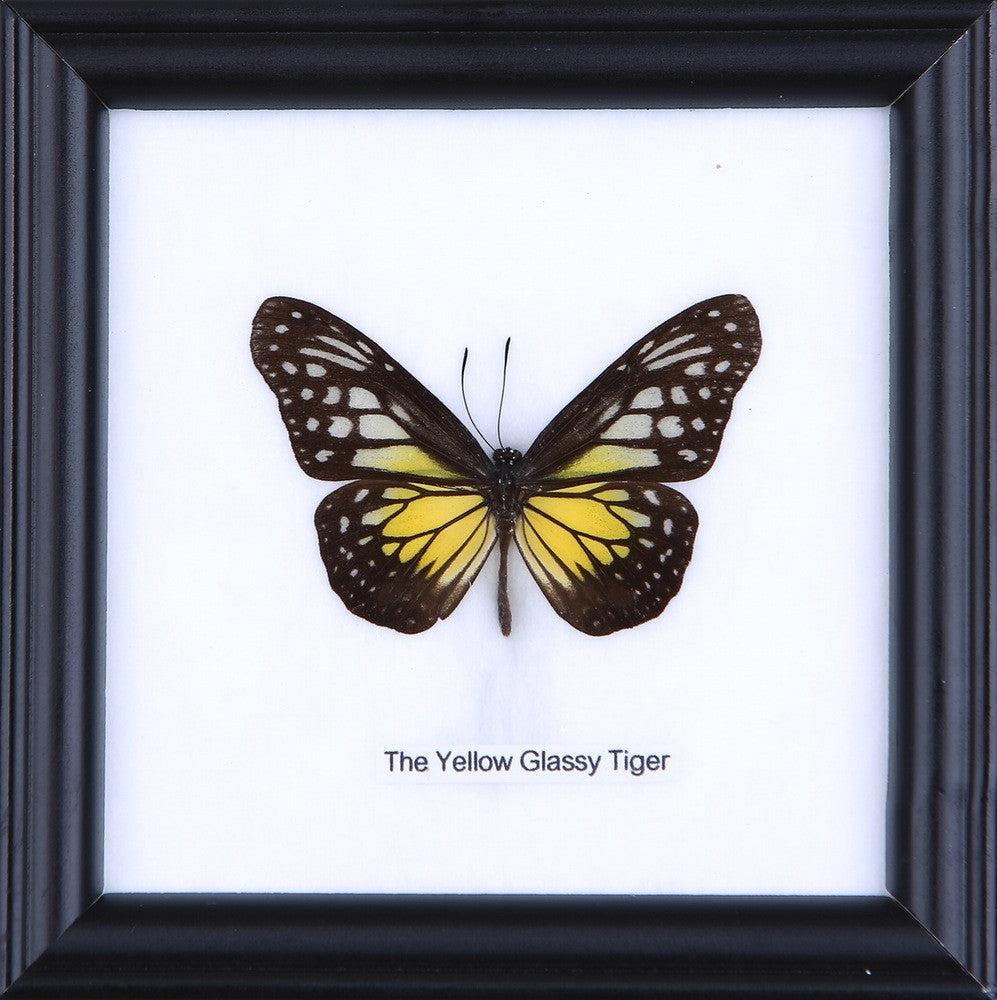 THE YELLOW GLASSY TIGER - COTTON MOUNTED BUTTERFLY TAXIDERMY 12X12CM FRAME